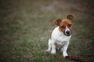 Jack Russell Puppy on Grass
