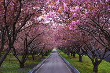 八重桜トンネル