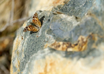 A butterfly opens its wings as it basks in the sunlight on a large rock in San Marcos, California