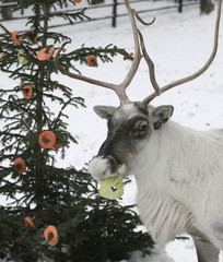 A reindeer eats slices of apples, carrots and cabbage attached to a Christmas tree at the Royev Ruchey zoo in Krasnoyarsk