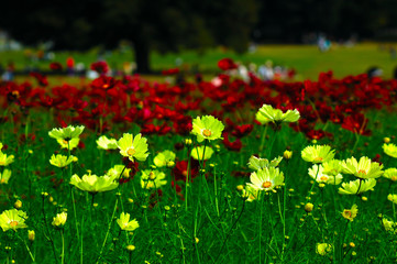 Fotobehang Olijf 昭和記念公園のコスモス