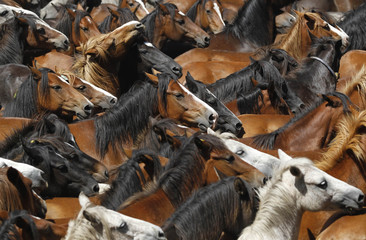 "Wild horses are seen gathered during the ""Rapa Das Bestas"" traditional event in the Spanish northwestern village of Amil"
