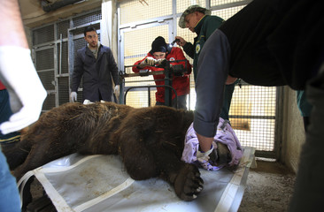 Foreign veterinarians and local staff weigh a brown bear at the Four Paws Bear Sanctuary in Pristina