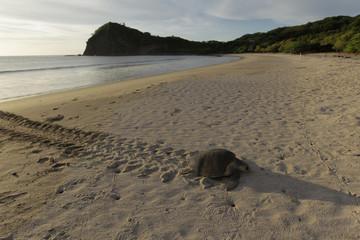 Olive Ridley turtle arrives at the La Flor Wildlife Refugee during nesting season