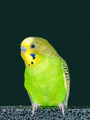 Portrait of a green and yellow parakeet