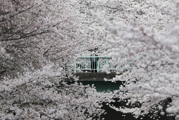 A businessman looks at cherry blossoms in almost full bloom in Tokyo