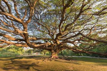 Under stand alone big giant tree, natural landscape background