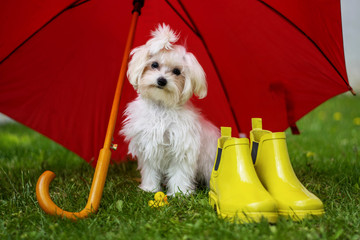 Maltese under the umbrella