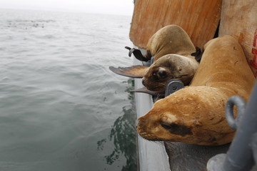 Sea lions Rocky and Arya watch the sea before jumping in front of the Palomino island in Callao