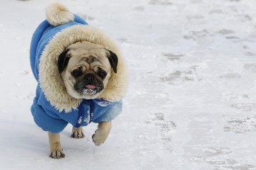 A dog wrapped up against the cold walks on a snow sprinkled pavement in an air temperature around minus 18 degree Celsius in central Kiev