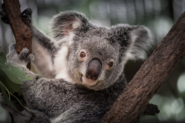 Koala on the tree in Cairns, Australia