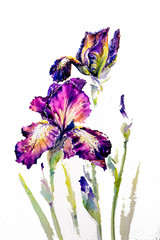Watarecolors painted iris Provencal isolated on white