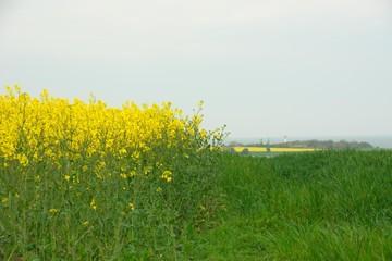 Rapsfeld mit Leuchtturm in Schleswig-Holstein