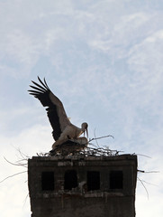 Two storks mate on a roof in the old town centre of Sibiu, northwest of Bucharest