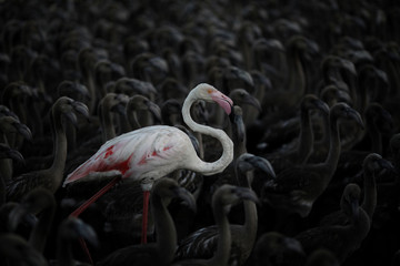 A flamingo and flamingo chicks are seen in a corral before being tagged at dawn at the Fuente de Piedra natural reserve