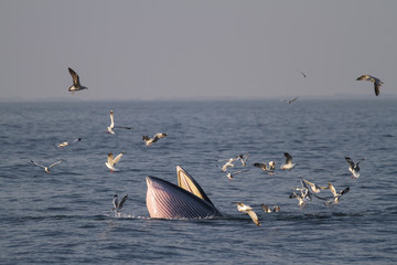 Bryde's whale feeding on a sea in the gulf of Thailand.