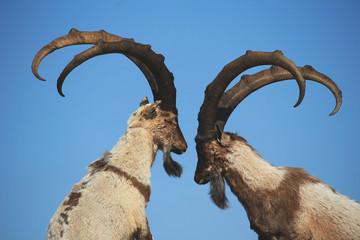 Anadolu Yabani Dağ Keçileri