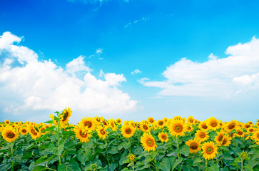 vibrant sunflowers plant farm in sunshine day with blue sky background