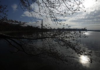 Cherry blossom buds that have yet to bloom are seen around the Tidal Basin in Washington