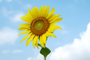 single bright sunflower with sky background