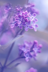 Spring background of spring lilac flowers