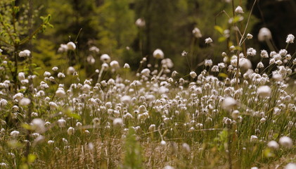 wonderful wilderness, millions of white wollgras pompons after a rain shower