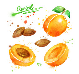 Watercolor illustration of apricot
