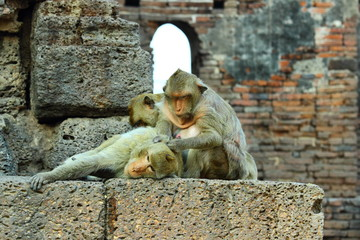 Monkeys living in the temple of Thailand (Phra Prang Sam Yot. Lopburi The ancient and historic and archaeological importance of the province of Suphan Buri),Monkey.
