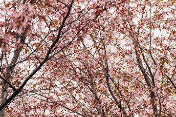 Beautiful flowers of cherry or sakura blossom on central park of New York. Spring time pink concept for fresh design