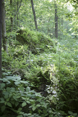 Large Fern Covered Rock in a Virginia Forest