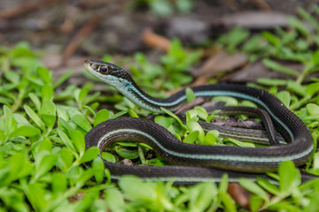 A close up of a Bluestripe Ribbon Snake in Florida