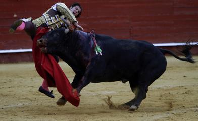 Spanish matador David Mora is tackled by a bull during a bullfight in Almeria