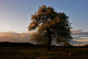 Obraz Samotne drzewo owocowe - fototapety do salonu