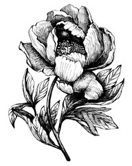 The branch flowering peony (peonies, paeony, paeonia), isolated on white background.  Hand drawn graphic  illustration.