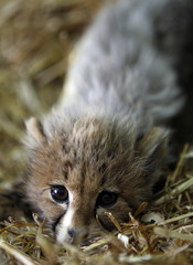 A baby cheetah is seen at a Royal Society for the Conservation of Nature (RSCN) shelter in Amman