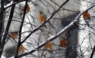 Robins roost in a tree during a winter storm in Washington