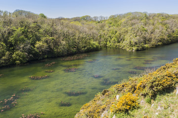 Water lily plants floating on clear waters at Bosherton Lakes, near Stackpole, Pembrokeshire, South Wales in the UK.