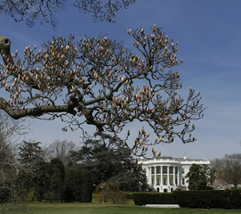 An old magnolia tree begins to blossom on the South Lawn of the White House in Washington