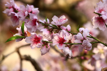 Beautiful peach blossom