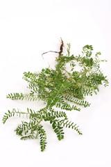 Seed-under-leaf (Phyllanthus amarus Schumach. & Thonn.)