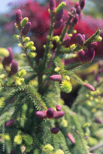 Small pink fir cones on a pine tree stock photo and royalty free small pink fir cones on a pine tree mightylinksfo