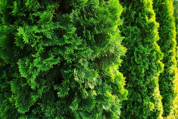 Green Hedge of Thuja Trees Wall mural
