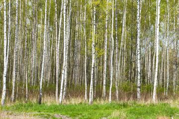 Krajobraz brzozy las naa wiosnę i lato