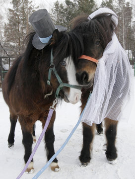 Shetland ponies, male Silver and female Zorka, are seen dressed as a groom and a bride at the Royev Ruchey zoo in the suburbs of Russia's Siberian city of Krasnoyarsk