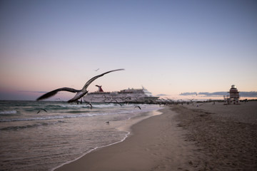 Single seagull flyes on a coastline during sunset folowwing cruise ship. Miami Beach