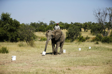 """Ranger rides an elephant during a demonstration of the art of """"bio-detection"""", to see if it can be used to sniff out explosives, at the Adventures with Elephants game ranch, in Mabula"""