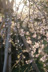 逆光の枝垂桜  Weeping cherry tree