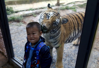 A boy poses for a photograph with a tiger behind a glass wall in Yunnan Wildlife Park in Kunming