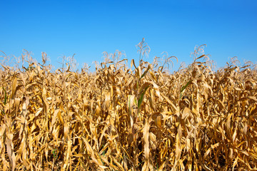 dry corn farm after harvest season with blue sky background