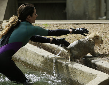 Smithsonian National Zoo animal keeper Kristen Clark chases a male lion cub during its swim test in the zoo habitat moat, in Washington